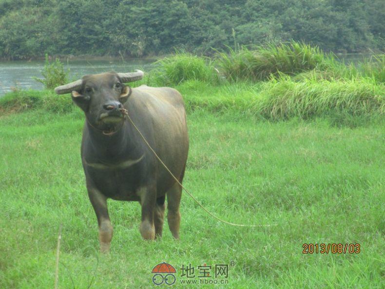 边牧8月图_【图】低价出售边境牧羊犬8月龄左右公母各